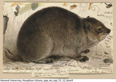 Rodent by Edward Lear